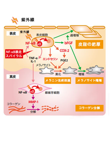 世界中の皮膚科学者が注目、光老化のスイッチNF-kB